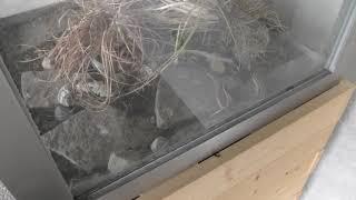 シマヘビ (アクアマリンふくしま) 2018年12月3日