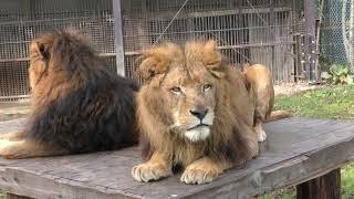 ライオン (那須サファリパーク) 2018年12月7日