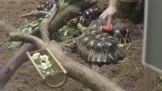 ホウシャガメ の甲羅掃除 (上野動物園) 2018年7月7日