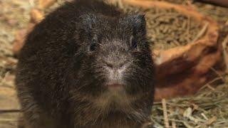 Brazilian guinea pig (Saitama Children's Zoo, Saitama, Japan) September 15, 2020