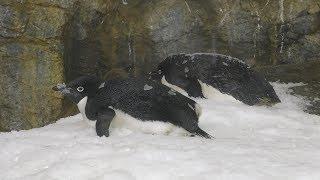 南極のペンギンたち (アドベンチャーワールド) 2018年12月25日