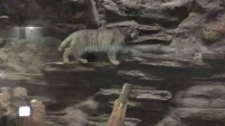 マヌルネコ(上野動物園) 2017年8月9日