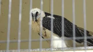 ヒゲワシ の『クリッパー』 (静岡市立 日本平動物園) 2019年9月29日