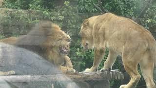 スリスリするライオン (東武動物公園) 2017年10月15日