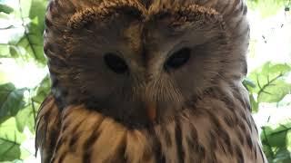 ウラルフクロウ の『もみじ』 (嚴島フクロウの森) 2018年5月20日