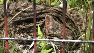 ベンガルヤマネコ の『まど』 (鹿児島市 平川動物公園) 2019年4月17日