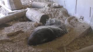 ハリネズミ と ヤマアラシ (熊本市動植物園) 2019年4月18日