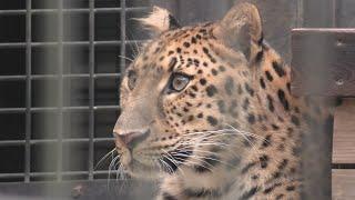 Amur leopard (Yokohama Zoological Gardens [ZOORASIA], Kanagawa, Japan) September 16, 2020