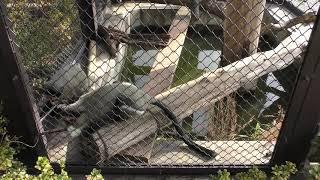 ブラッザグエノン (日立市かみね動物園) 2018年12月4日