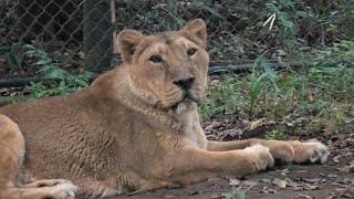 Asiatic Lion (Yokohama Zoological Gardens [ZOORASIA], Kanagawa, Japan) September 16, 2020