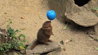 コビトマングース の採食エンリッチメント (天王寺動物園) 2019年11月20日
