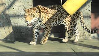ジャガー の『ロン』 (天王寺動物園) 2020年12月23日