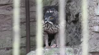 Mountain Hawk-eagle (TOBE ZOOLOGICAL PARK OF EHIME PREF., Ehime, Japan) December 25, 2019
