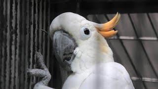 Citron-crested cockatoo (Saitama Children's Zoo, Saitama, Japan) September 15, 2020