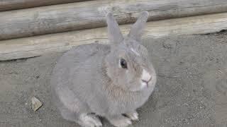 飼いウサギ (群馬サファリパーク) 2018年11月10日