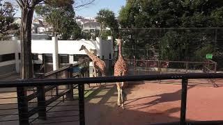 アミメキリンとグレビーシマウマ (野毛山動物園) 2017年12月16日
