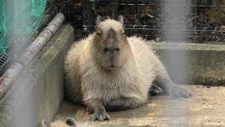 カピバラ (神戸市立 王子動物園) 2020年8月4日