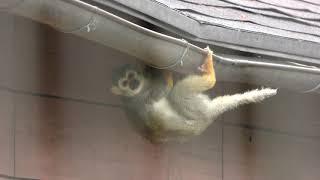 Common Squirrel Monkey (Awaji Farm Park England Hill, Hyogo, Japan) March 23, 2019