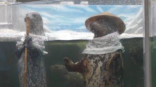 ゼニガタアザラシ の給餌解説 2/2 (新屋島水族館) 2019年2月28日