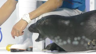 バイカルアザラシ の食事の時間 (琵琶湖博物館 水族展示室) 2019年10月30日