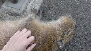 撫でられてごろ寝するカピバラ (日立市かみね動物園) 2017年10月21日
