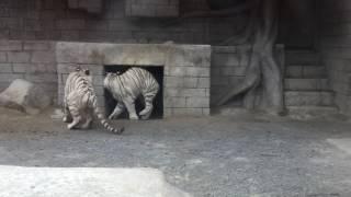 おや、ホワイトタイガーのようすが…… (東武動物公園) 2017年6月11日