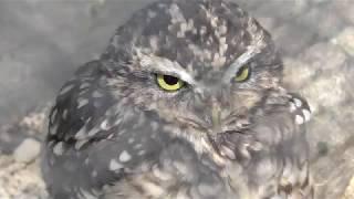 アナホリフクロウの『ケーナ』 (大宮公園小動物園) 2018年2月4日