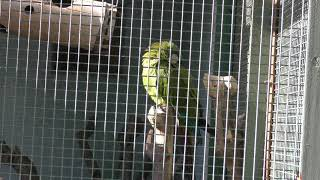 ヒメコンゴウインコ (東山動植物園) 2019年1月22日
