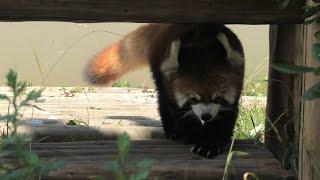 レッサーパンダ の『ウーロン』 (京都市動物園) 2020年9月1日