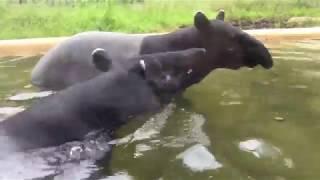 マレーバク2頭の水浴び (多摩動物公園) 2017年8月27日