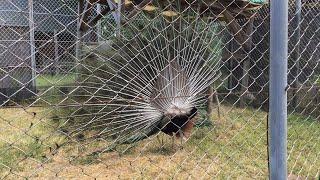 インドクジャクの裏側 (東武動物公園) 2017年6月11日