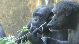 チンパンジーの丘 (いしかわ動物園) 2019年8月18日
