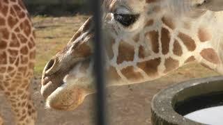 キリンのサクラとリオ (日本平動物園) 2017年12月10日