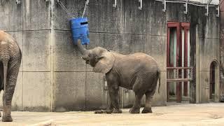 African elephant (TOBE ZOOLOGICAL PARK OF EHIME PREF., Ehime, Japan) December 25, 2019