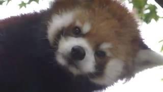 レッサーパンダ の『風美』 (平川動物公園) 2018年7月29日