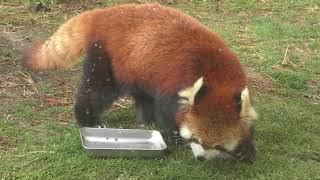 レッサーパンダ の『ウーロン』 (京都市動物園) 2019年1月26日
