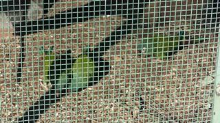 アカビタイヒメコンゴウインコ (東山動植物園) 2019年1月22日