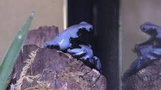 セマダラヤドクガエル(ブルー) (体感型カエル館 kawazoo【カワズー】) 2019年9月30日