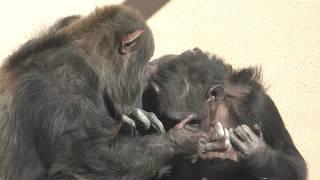 チンパンジーの『チャチャ』と『ポッキー』 (仙台市八木山動物公園/セルコホーム ズーパラダイス八木山) 2018年1月20日