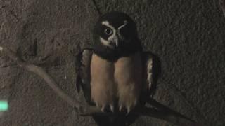 メガネフクロウ (天王寺動物園) 2017年11月3日