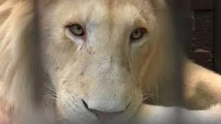 ホワイトライオンの『アルマル』と『ステルク』 (宇都宮動物園) 2018年4月30日