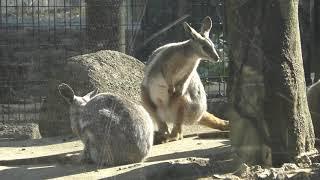 シマオイワワラビー (多摩動物公園) 2019年1月18日