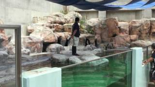 Humboldt penguin guide (Toyohashi Zoo and Botanical Park, Aichi, Japan) August 5, 2017