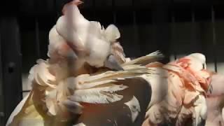 オオバタン (大宮公園小動物園) 2018年2月4日