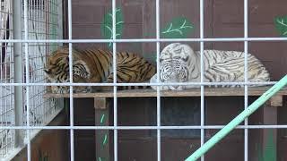 ホワイトタイガー と ベンガルトラ (しろとり動物園) 2019年3月1日
