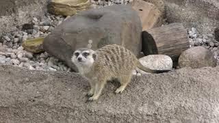 Meerkat (Nasu Animal Kingdom, Tochigi, Japan) September 10, 2017