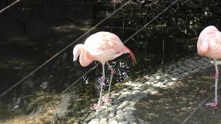 Chilean flamingo (Manriki Park Manyo-no Mori Zoo, Yamanashi, Japan) September 23, 2018