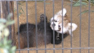 レッサーパンダ の双子の赤ちゃん『ニーコ』と『令花』 (鯖江市 西山動物園) 2019年11月1日