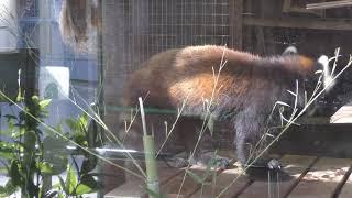 レッサーパンダ の『ヤマト』と『ゆい』 (日立市かみね動物園) 2018年12月4日