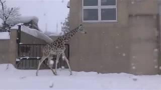 雪の中のアミメキリン (旭山動物園) 2018年2月11日